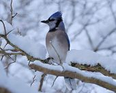 picture of blue jay  - Blue Jay perched on a tree branch - JPG