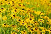 stock photo of black-eyed susans  - Rudbekia (black-eyed-susans) flowers field, blossoming at summer time, floral background