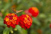 picture of lantana  - Butterfly on red lantana flowers in Spring - JPG