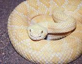 stock photo of western diamondback rattlesnake  - A Close Up of an Albino Western Diamondback Rattlesnake Crotalus atrox - JPG