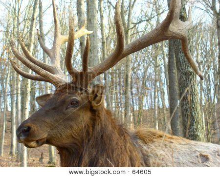 Close Up, Head Shot, Elk