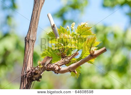 Spring Season Background With Vine Leaves In The Vineyard