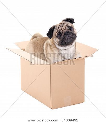 Pug Dog Sitting In Brown Carton Box Isolated On White