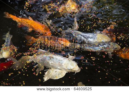 Large group of goldfishes eating