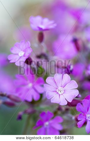Silene dioica flower with shallow DOF