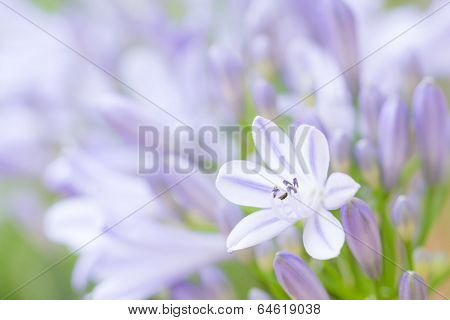 Agapanthus Flower Against Buds
