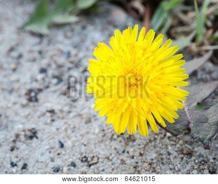 Common Dandelion Flower On Overcast Day Above Sidewalk