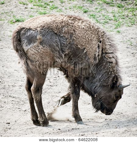 European Bison Paws The Ground