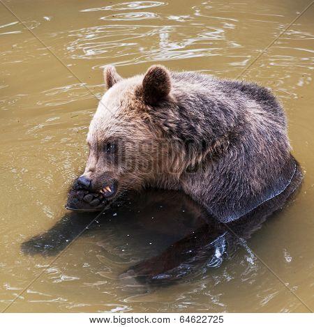 Young Bear (ursus Arctos)