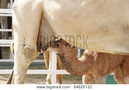 A calf feeding milk of mother camel