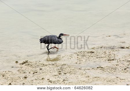 A beautiful black heron creeping