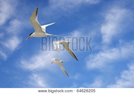 Tern seabirds flying high in the sky