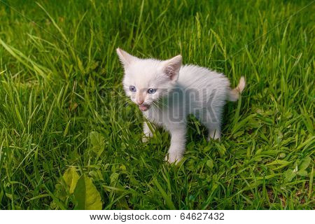 white small kitten opened his mouth showing teeth meows on green