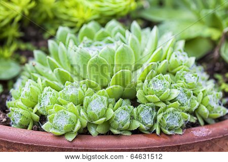 A garden variety of sedum or stonecrop, growing in a terracotta planter, called spiderweb sedum.
