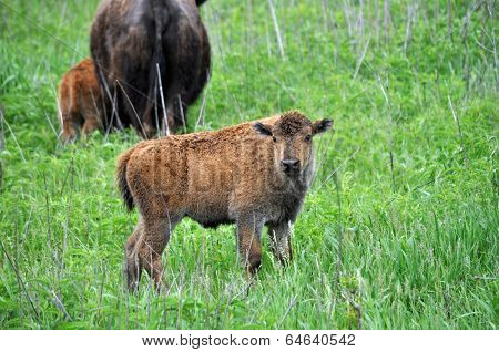 Young calf in field