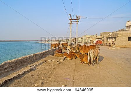 Cows On Porbandar Embankment