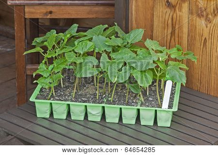 Young Runner Bean Plants in Seed Pots with Shed Background.