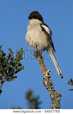 Female Fiscal Shrike Bird