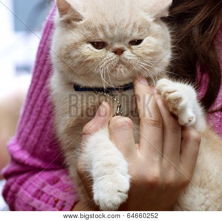 British Shorthair cat breed beautiful coloring closeup