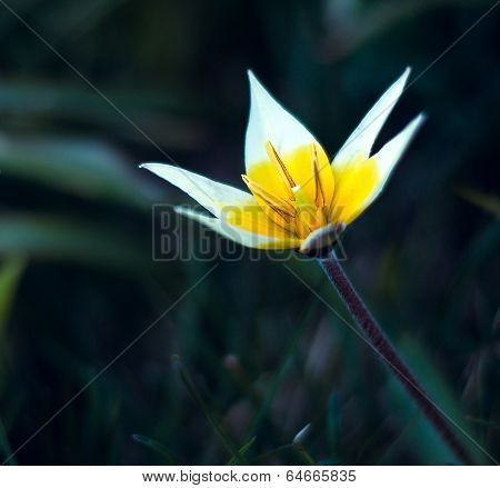 wild yellow Tulip