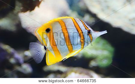 Close-up view of a Butterflyfish, Copperband butterflyfish
