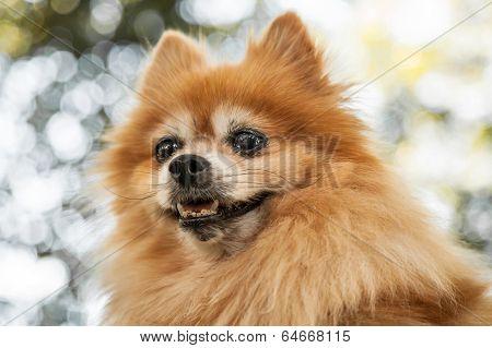 Head Of Heroic Looking Orange Pomeranian Dog
