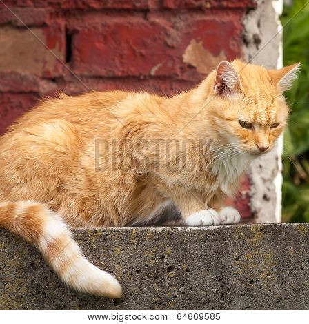Stray Ginger Tabby Sitting In Front Of Brick Wall