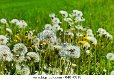 dandelion, dandelions, symbol photo for volatility, lightness and spring