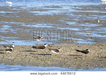 Oyster Catchers on Sand Bar