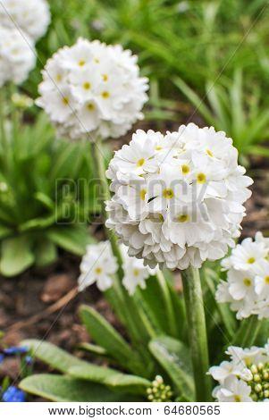 White Primrose Primula Denticulata Alba