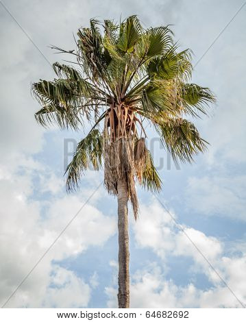 Cabbage Tree Palm Against Blue Sky With Clouds