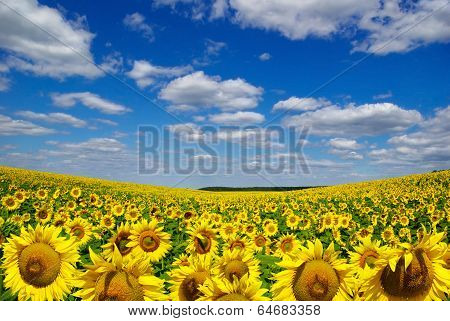 Valley Of Sunflowers On A Background Of Blue Sky.