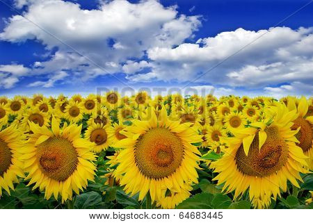 Blooming Field  Sunflowers On A Background Of Blue Sky.