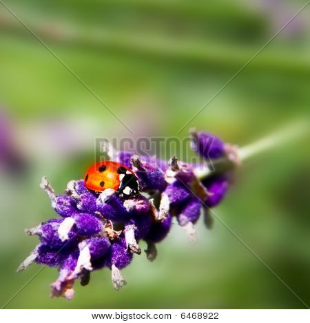 Macro Shot Of A Ladybird On Lavender