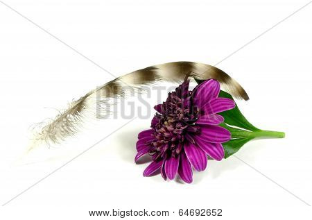 a feather with chrysanthemum