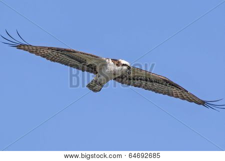 Osprey With Wings Spread.