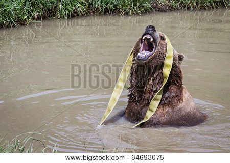 Brown Bear - Ursus Arctos