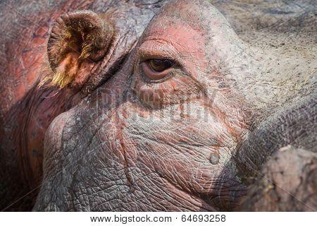 Hippopotamus- Hippopotamus Amphibius