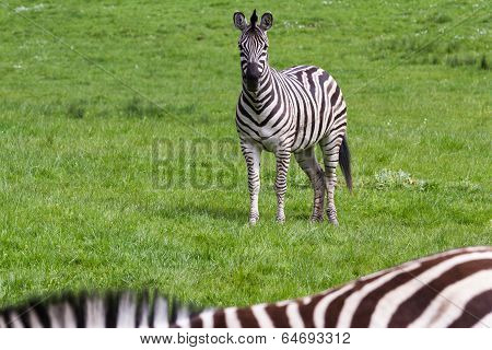 Damara Zebra- Equus Burchellii Antiquorum