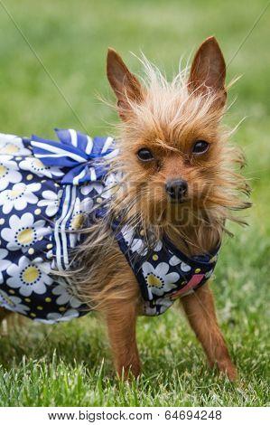 Female Puppy Wearing A Dress