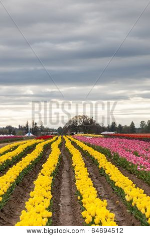 Crooked Rows Of Tulips