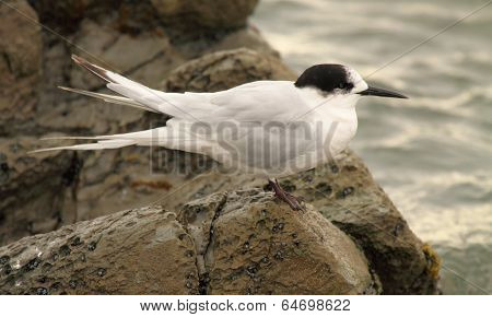 Tern Resting On Rocks