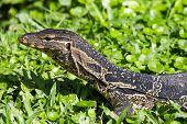 foto of monitor lizard  - Monitor lizard  - JPG