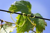 stock photo of tendril  - Green grape leaves and tendrils in summer - JPG