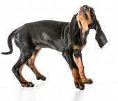 stock photo of coon dog  - worried dog  - JPG