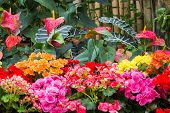 picture of begonias  - Flamingo flower and Begonia in winter botanic garden - JPG