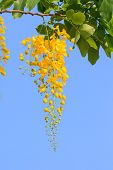 picture of vishu  - Golden shower flowers on blue sky background - JPG