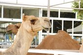 foto of eukaryote  - Camels Are Domesticated - JPG