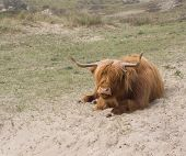 foto of highland-cattle  - Scottish Highland cattle with long shaggy hair covering its eyes resting on the ground