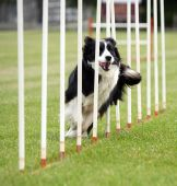 stock photo of border collie  - A Border Collie going through the Poles - JPG